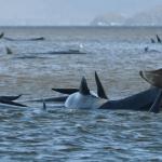 अस्ट्रेलियाको समुद्री किनारमा फसेका ९० ह्वेल मरे, अलपत्र १८० को उद्धारका लागि प्रयास जारी